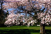 Blossoming_cherry_tree_2